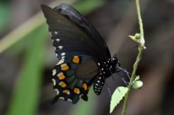 Black Butterlfy
