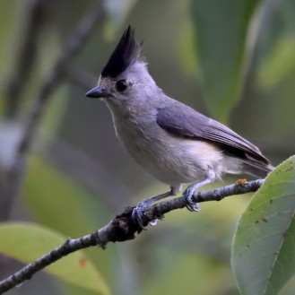 Crested Titmouse