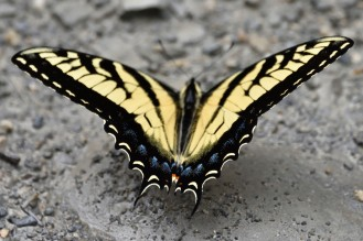 MExican Tiger Swallowtail