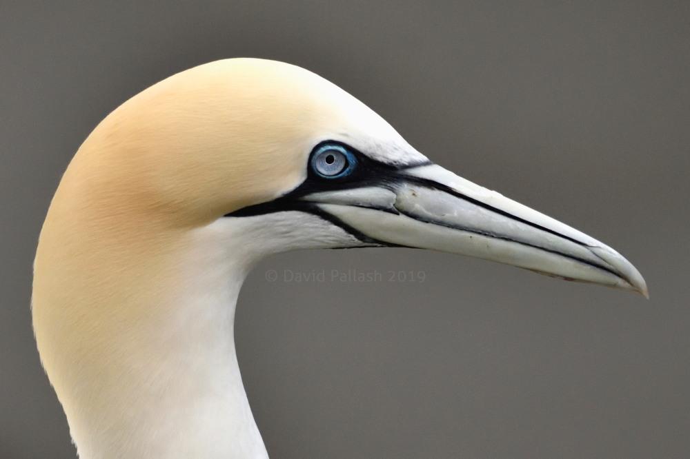 gannet profile CR