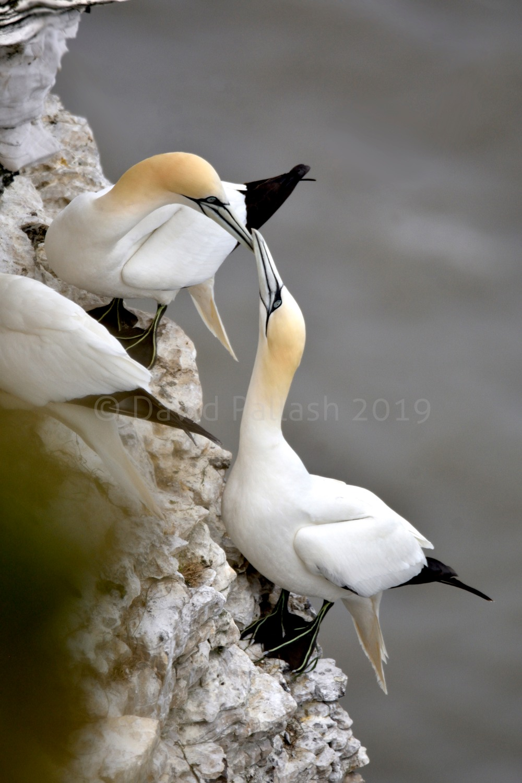 gannets x 2 CR