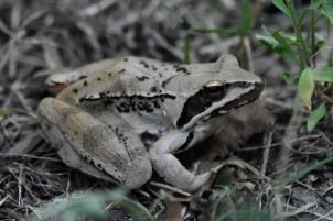 agilefrog