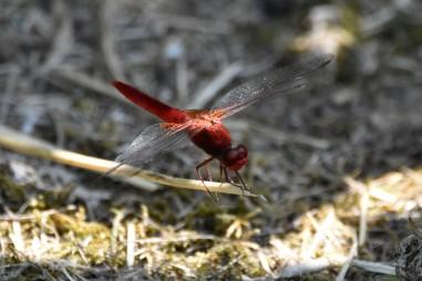 scarletdarter
