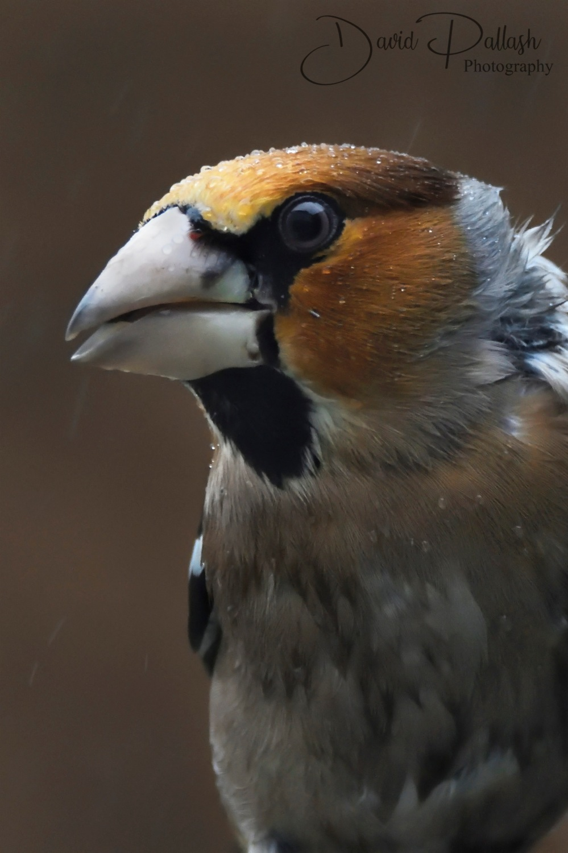 Hawfinch2_Sig